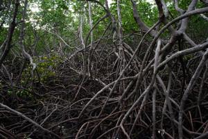 mangrove de Ouemo-0355
