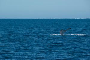 Baleines-0426-2