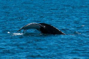 Baleines-0447