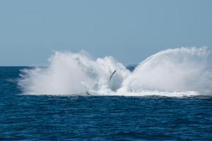 Baleines-0451