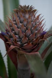 ananas-0498