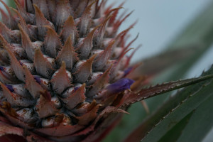 ananas-0501